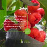 Muda de Jambo - Syzygium jambos