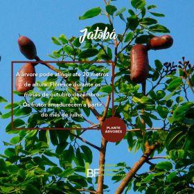 Muda de Jatoba - Hymenaea courbaril