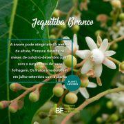 Muda de Jequitiba Branco - Cariniana estrellensis
