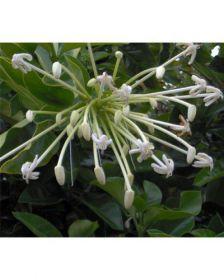 Muda de Laranja de Macaco - Posoqueria latifolia
