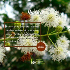Muda de Maricá - Mimosa bimucronata