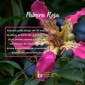 Muda de Paineira Rosa - Chorisia speciosa