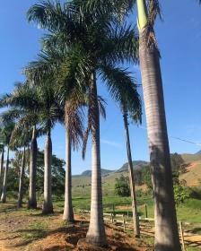 Muda de Palmeira Imperial - 1,2 M