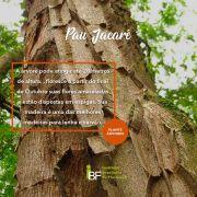 Muda de Pau Jacaré - Piptadenia gonoacantha