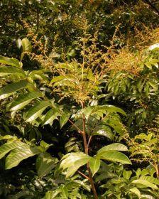 Muda de Pau Pombo - Tapirira guianensis