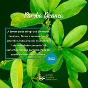 Muda de Peroba Branca - Chrysophyllum gonocarpum