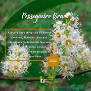 Muda de Pessegueiro Bravo - Prunus sellowii