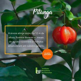Muda de Pitanga - Eugenia uniflora