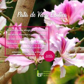 Muda de Pata de Vaca Exótica - Bauhinia variegata