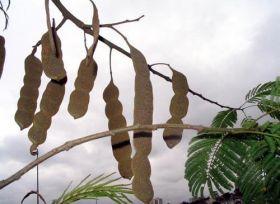 Sementes de Angico Branco do Cerrado - Anadenanthera falcata - 100g