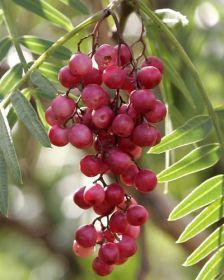Sementes de Aroeira Pimenteira - Schinus terebinthifolia -250g