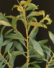 Sementes de Capororoca - Rapanea ferruginea - 250g