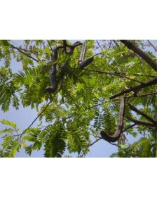 Sementes de Cassia Rosa - Cassia grandis - 250g