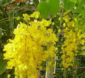 Sementes de Chuva de Ouro - Cassia fistula - 250g