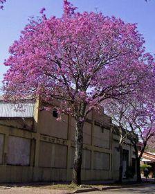 Sementes de Ipê Roxo do Grande - Tabebuia impetiginosa - 250g