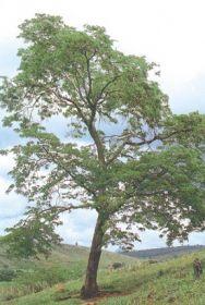 Sementes de Jacarandá da Bahia - Dalbergia nigra (Com casca) - 100g