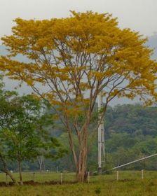 Sementes de Jacarandá do Campo - Platypodium elegans - 250g