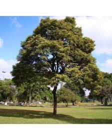 Sementes de Jacarandá Paulista - Machaerium villosum - 250g
