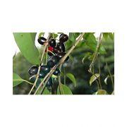 Sementes de Jambolão - Syzygium jambolanum