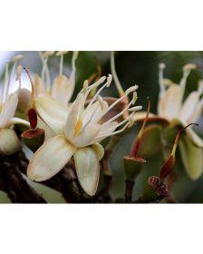 Sementes de Jatoba do Cerrado - Hymenaea stigonocarpa mart ex hayne - 250g