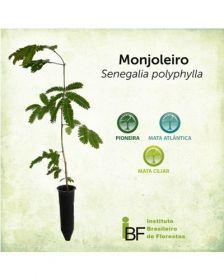 Sementes de Monjoleiro - Senegalia polyphylla - 250g