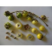 Sementes de Murici Rasteiro - Byrsonima verbacifolia