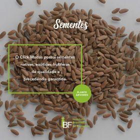 Sementes de Pau Amendoim - Pterogyne nitens (com casca) - 100g