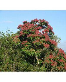 Sementes de Pau Jangada Vermelho - Heliocarpus popayanensis - 250g