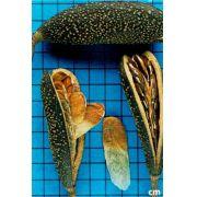 Sementes de Peroba Poca - Aspidosperma cylindrocarpon