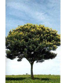 Sementes de Saboeiro - Sapindus saponaria - 250g