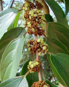 Sementes de Saguaraji - Colubrina glandulosa - 100g