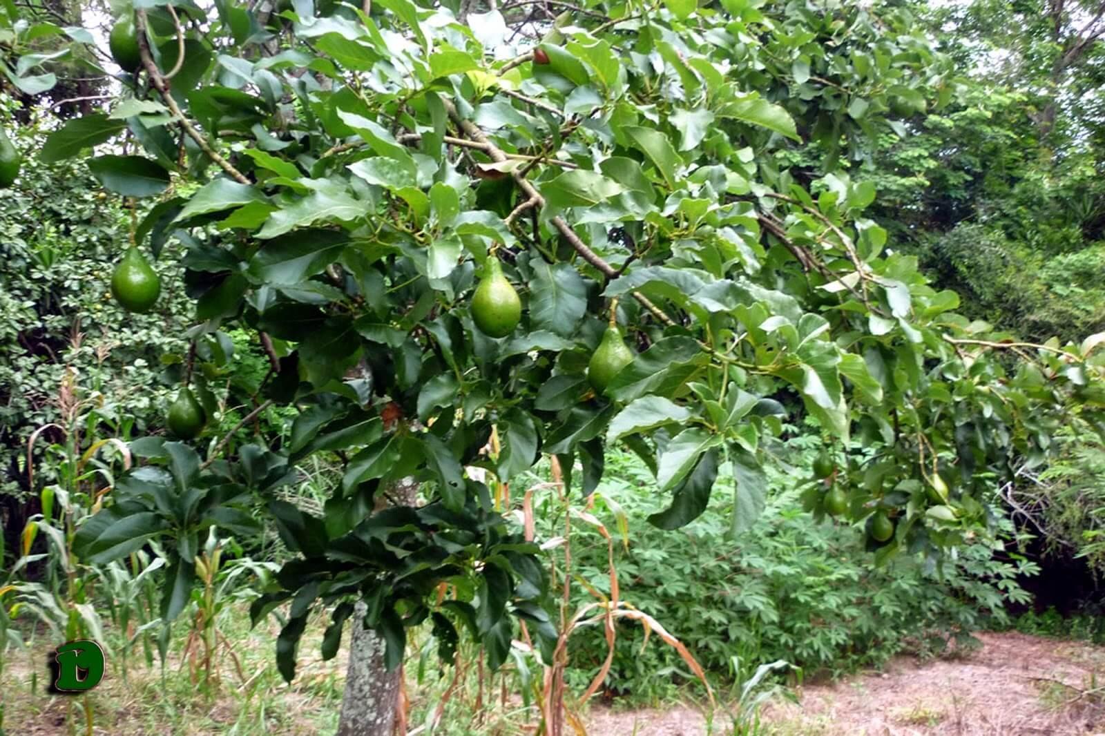 Muda Frutífera de Abacate - 1,2/1,5 m