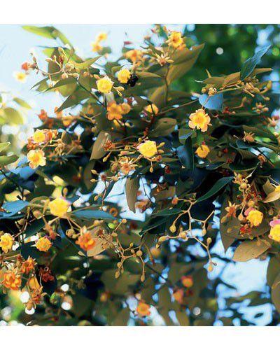 Muda de Açoita Cavalo Graúdo - Luehea grandiflora