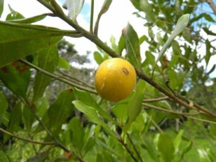 Muda de Aguai - Chrysophyllum gonocarpum