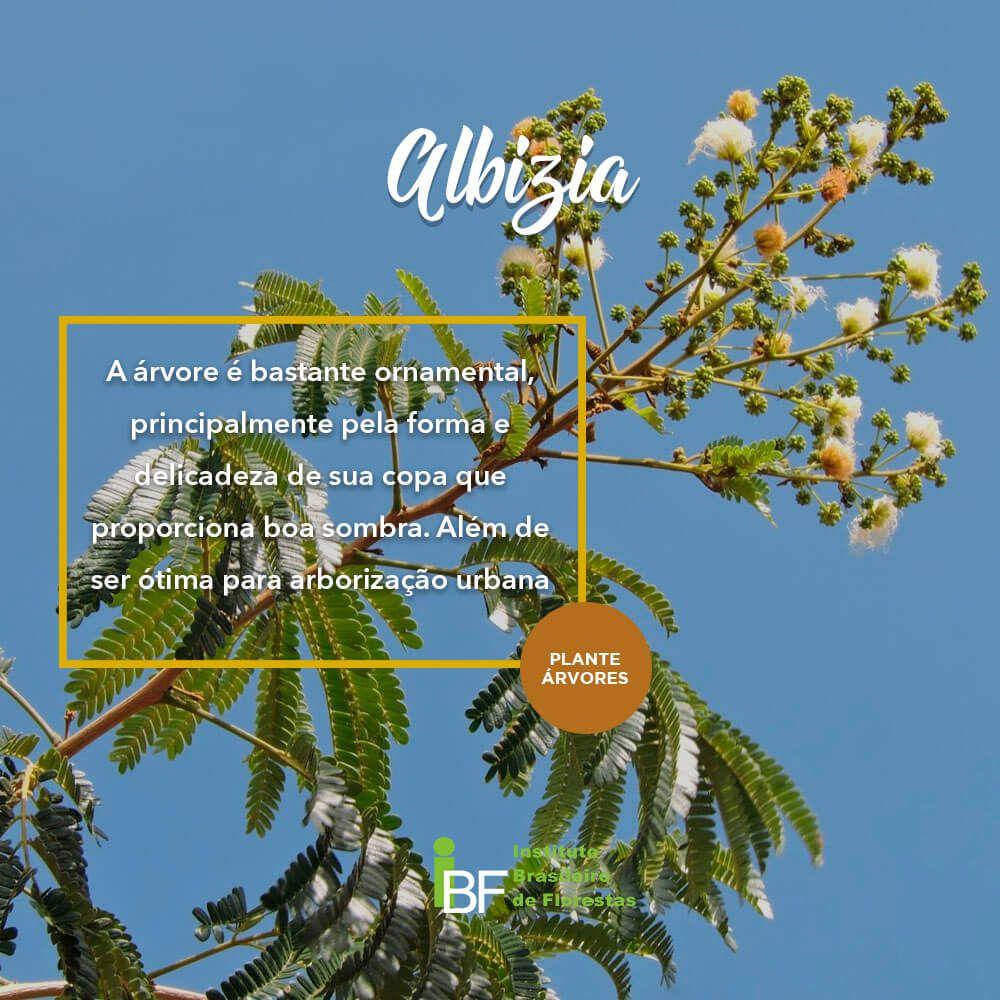 Muda de Albiza - Albizia polycephala