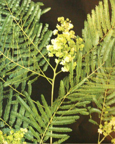 Muda de Albizia - Albizia polycephala