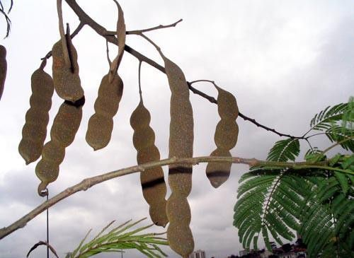 Muda de Angico Branco do Cerrado - Anadenanthera falcata