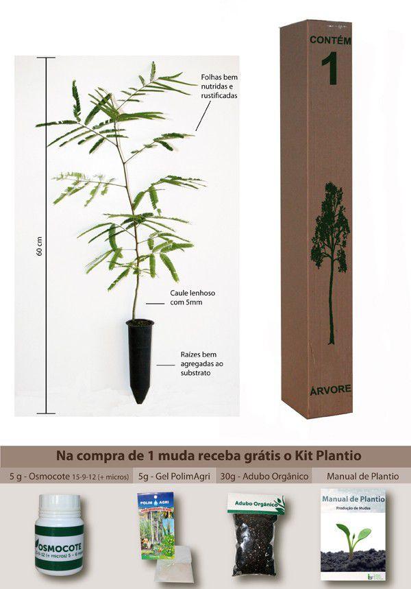 Muda de Angico Vermelho - Anadenanthera macrocarpa