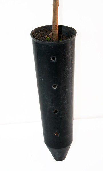 Muda de Araça Goiaba - Psidium longipetiolatum