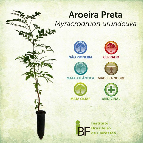 Muda de Aroeira Preta - Myracrodruon urundeuva