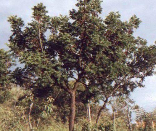 Muda de Barbatimão - Stryphnodendron adstringens