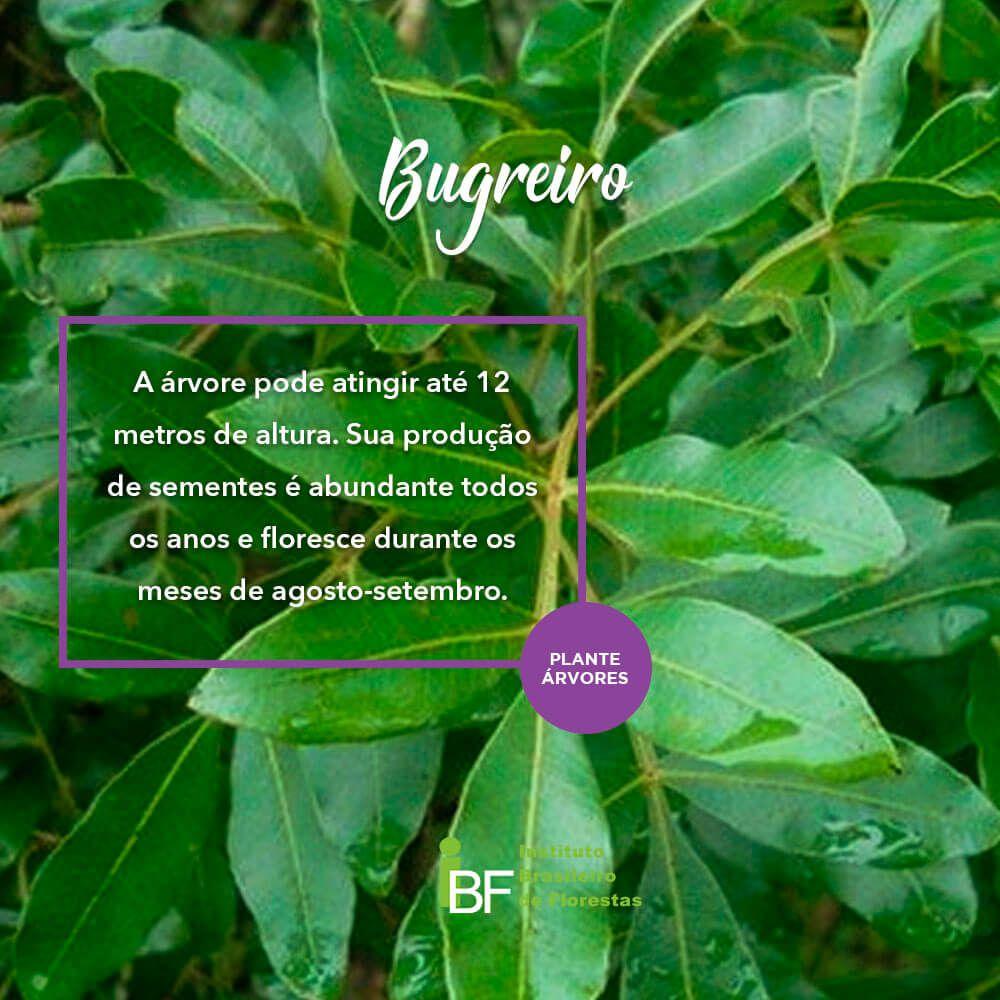 Muda de Bugreiro - Lithraea molleoides
