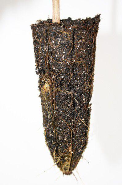 Muda de Café de Bugre - Cordia ecalyculata