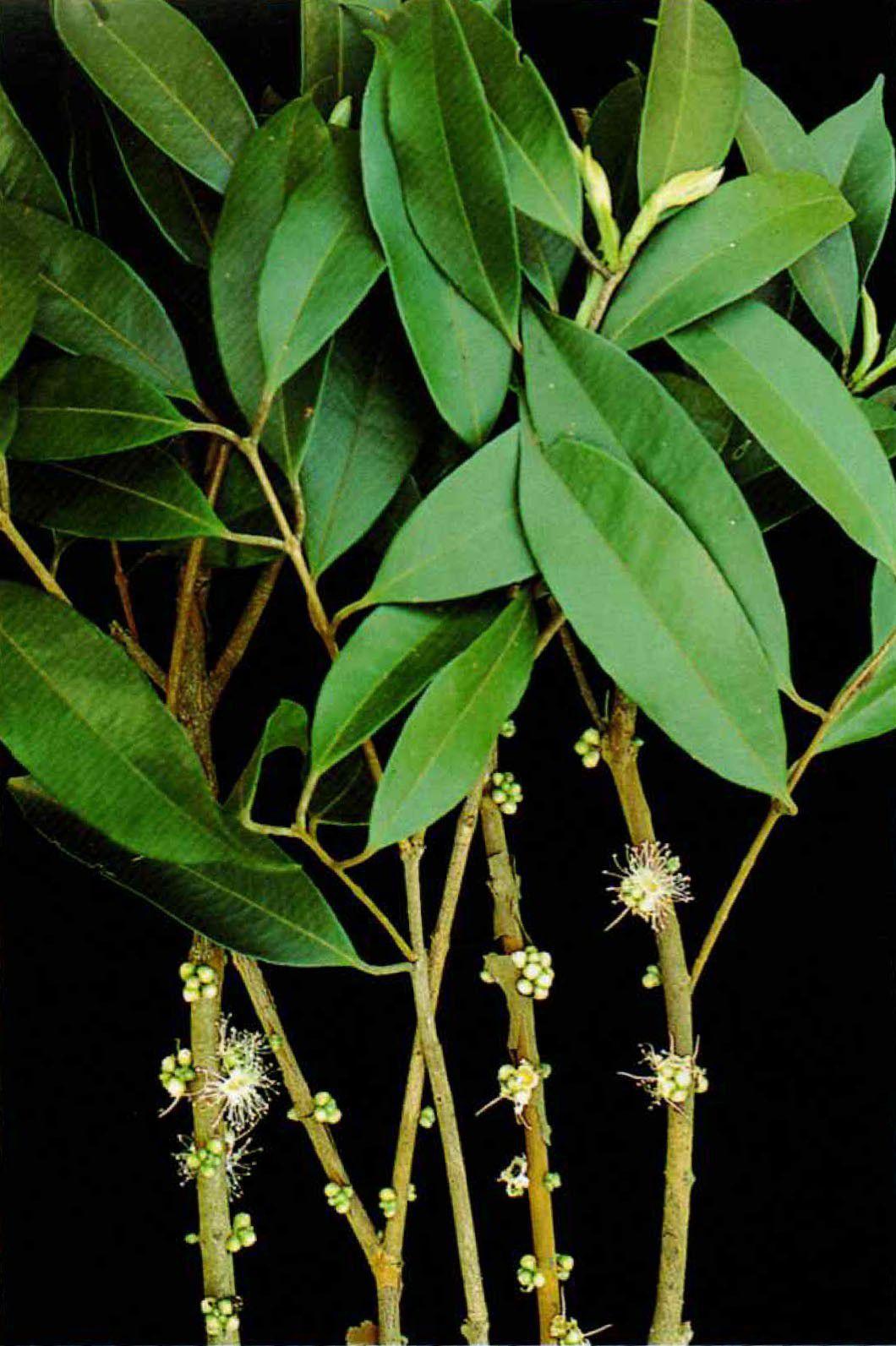 Muda de Cambucá - Plinia edullis