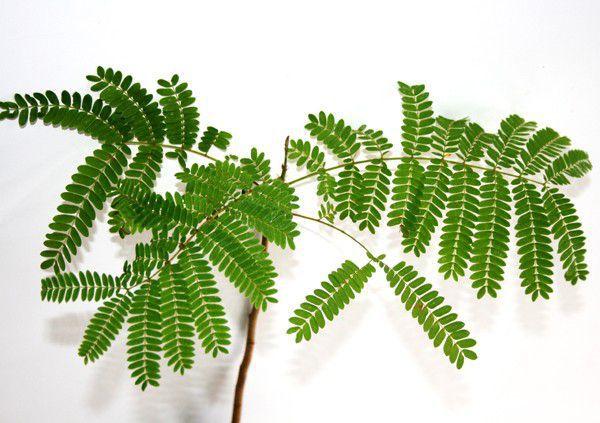 Muda de Canafistula - Peltophorum dubium