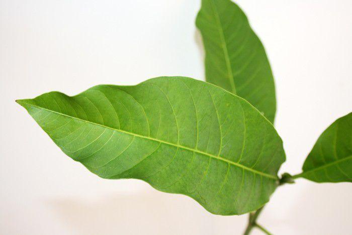 Muda de Casca D'Anta - Rauvolfia sellowii