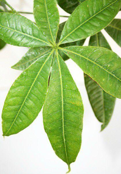 Muda de Castanha do Maranhão - Bombacopsis glabra