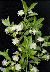 Muda de Cereja do Mato - Eugenia involucrata