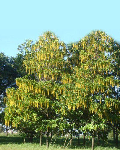 Muda de Chuva de Ouro - Lophantera lactescens