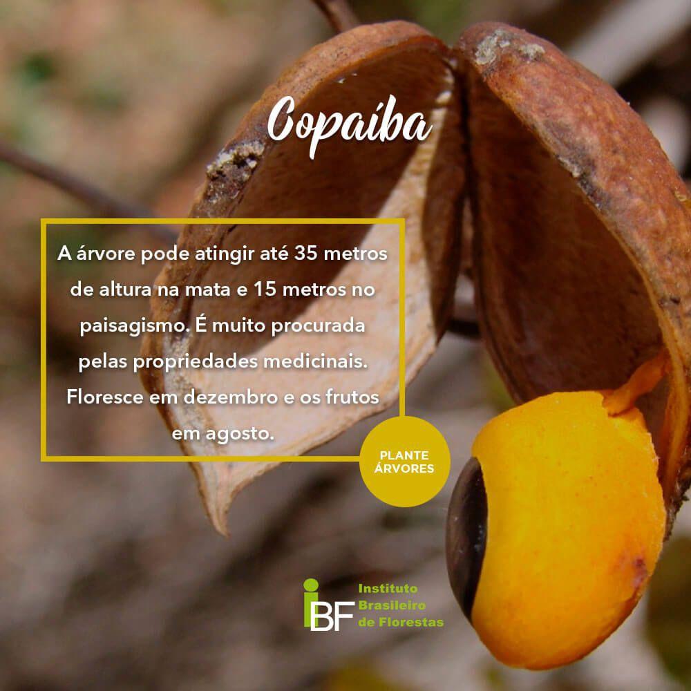 Muda de Copaíba - Copaifera langsdorffii